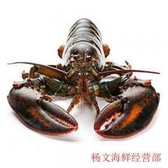波士顿龙虾  450g-600g/只  今日21点前下单,预计7日内送达